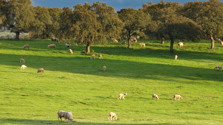 Más de 2.000 cabezas de ganado (imaginamos que felices) hay en esta finca. (Foto: Pascualete)