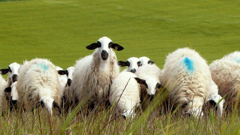 Foto: Rebaño de ovejas churras en Palencia. (EFE)