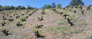 La garnacha, la niña bonita de los mejores vinos de la zona de Gredos