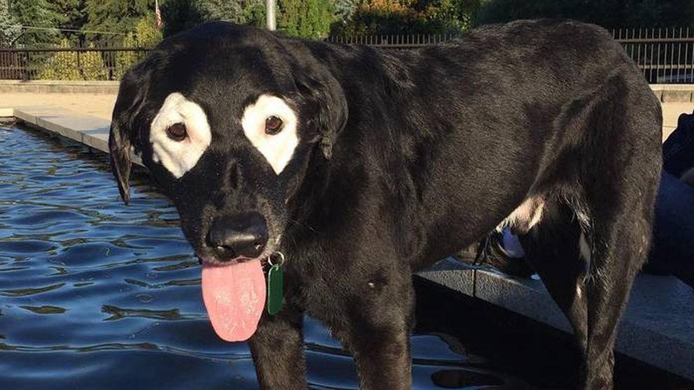 Rowdy, el adorable perro labrador con vitíligo