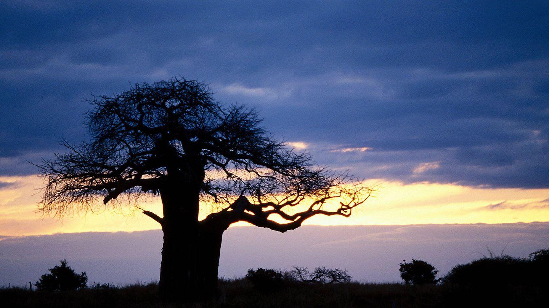 Baobab en el Parque Nacional Tarangire, Tanzania. (Andoni Canela)