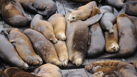 Estados Unidos da luz verde al sacrificio de leones marinos para salvar salmones