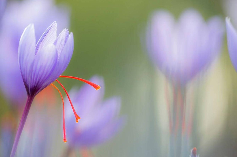 Foto: La rosa del azafrán (y olé)
