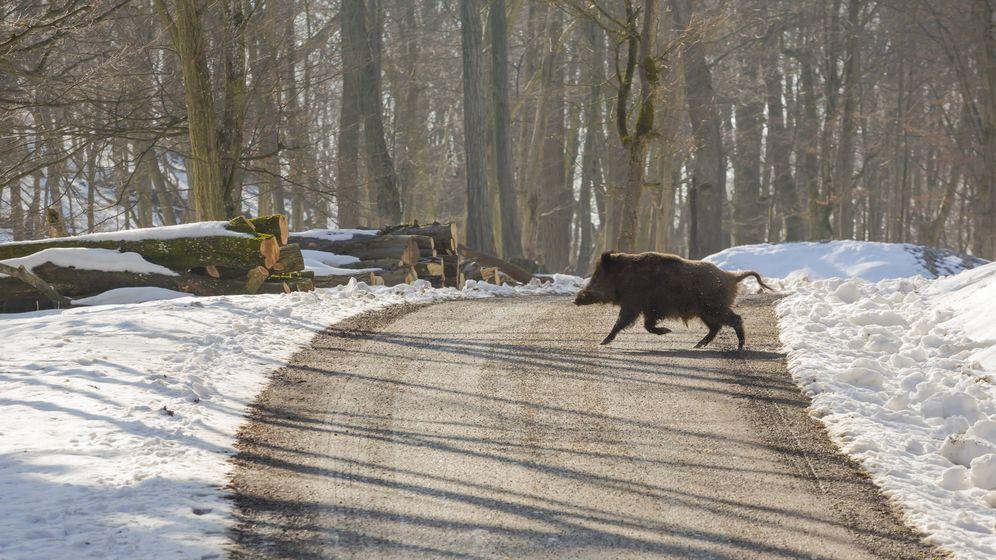 Foto: Los jabalíes no dejan de proliferar y cada vez se acercan más a zonas pobladas (iStock)