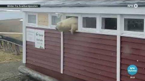 La difícil escapatoria de un oso polar tras hincharse a chocolate