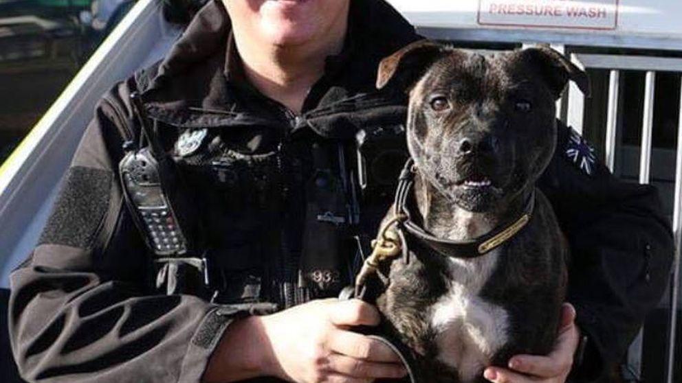 Un perro rescatado se convierte en el primer policía Staffordshire Bull Terrier