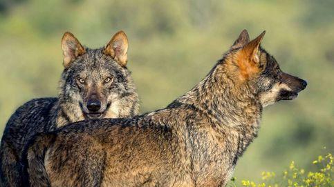 Madrid no permitirá que los ganaderos puedan matar lobos en ningún caso