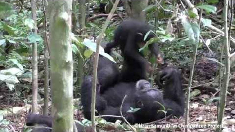 El tierno vídeo en que un chimpancé juega con su cría al avión