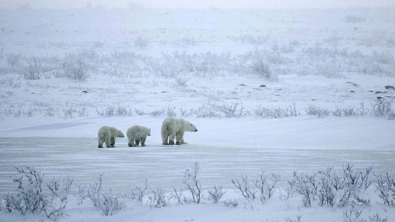 Entre osos polares en el fin del mundo