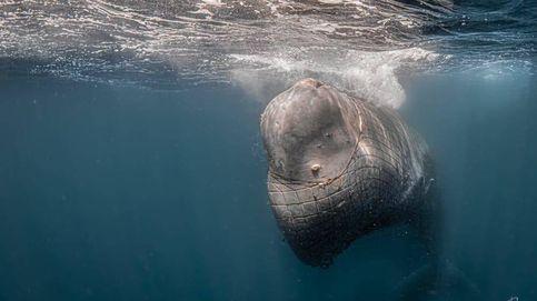 Captan a un cachalote enredado en una red en el Estrecho: No pudimos hacer nada