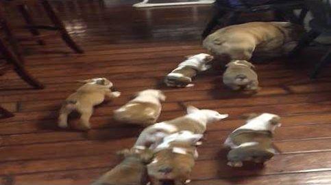 El estrés de un bulldog al ser padre te hará partirte de risa