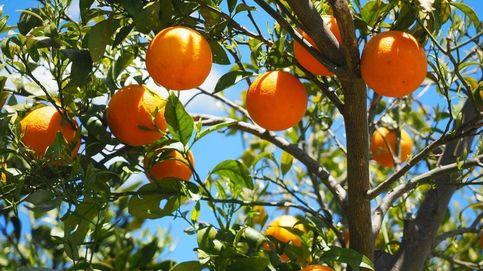 ¿Es cierto que las naranjas de Sudáfrica contienen pesticidas?