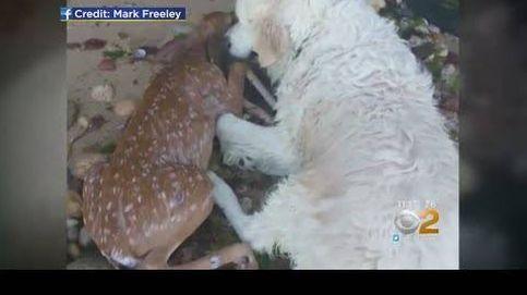 Un perro salva a una cría de ciervo que se estaba ahogando