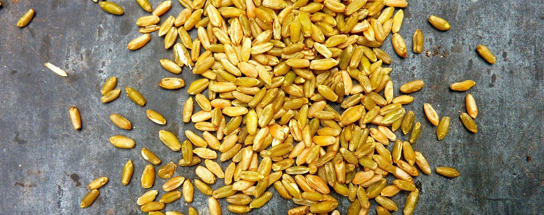 Foto: Este grano de trigo se cosecha antes de su madurez para, posteriormente, tostarlo