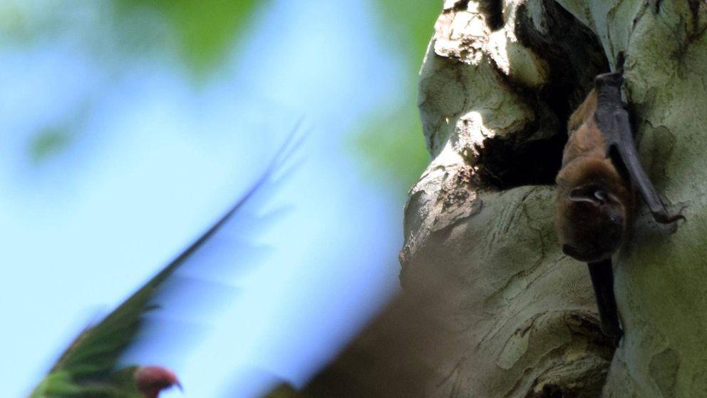 Cotorras de Kramer contra murciélagos gigantes: duelo a muerte en Sevilla