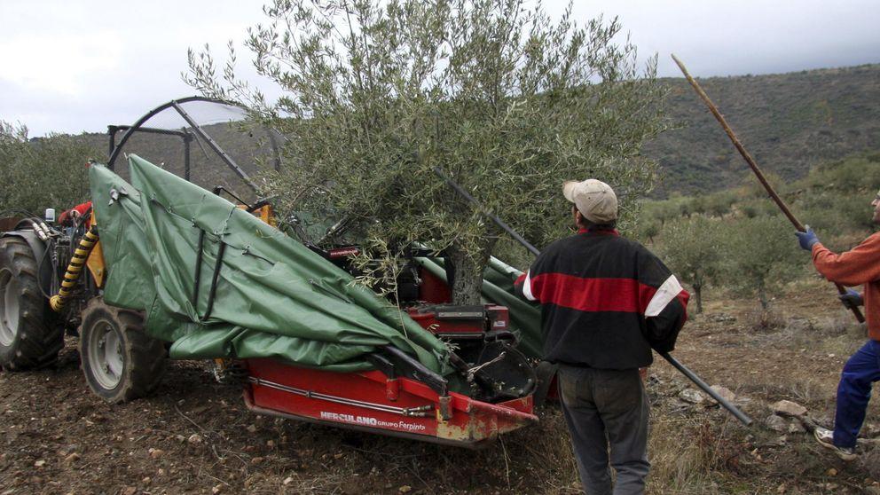 La mala cosecha dispara el negocio del aceite para los agricultores