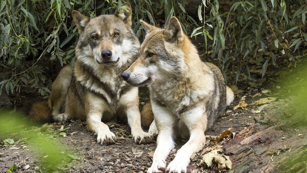 Lobos y jabalíes llegan a las ciudades de Galicia y enfrentan a cazadores y animalistas