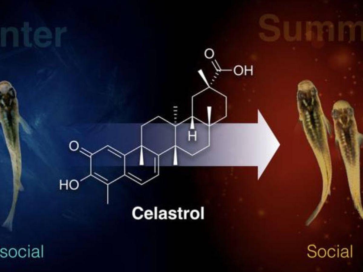 Foto: El celastrol ayuda a curar la depresión de los peces Medaka. Foto: Universidad de Nagoya