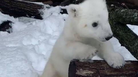 El conmovedor vídeo de una osezna polar que ve la nieve por primera vez