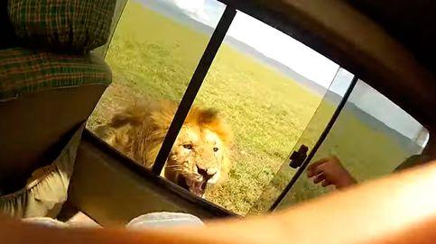 Un turista intenta acariciar a un león y se arrepiente al segundo