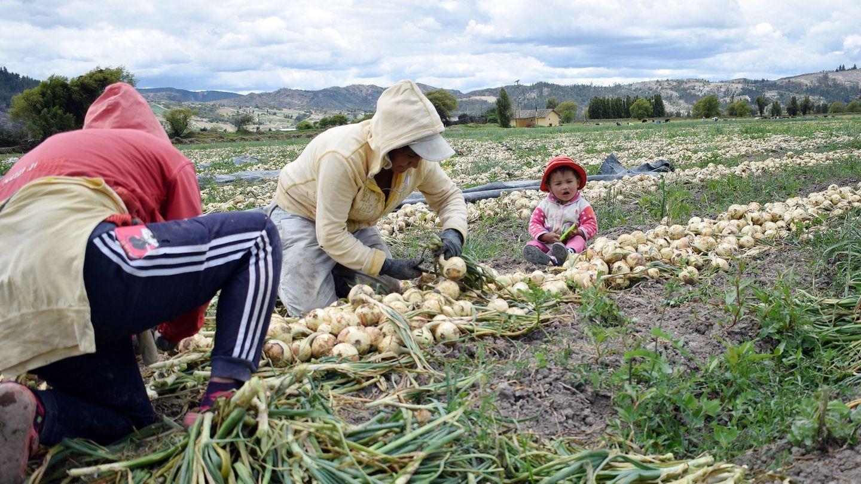 Monocultivo de cebollas en Colombia. (EFE)