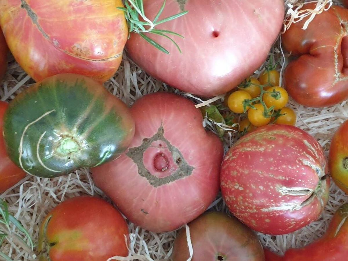 Foto: Tomates de cultivo tradicional. (Á. Gómez)