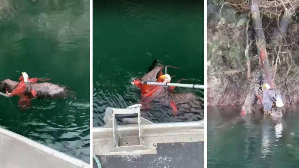 Foto: El águila no tenía escapatoria y estaba a merced del pulpo en el agua (Foto: YouTube)
