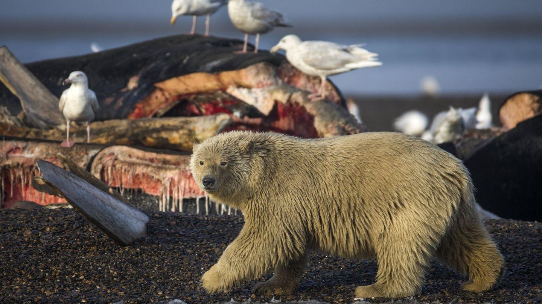 Un oso polar joven se prepara para alimentarse con los restos de ballenas de Groenlandia. (EFE)