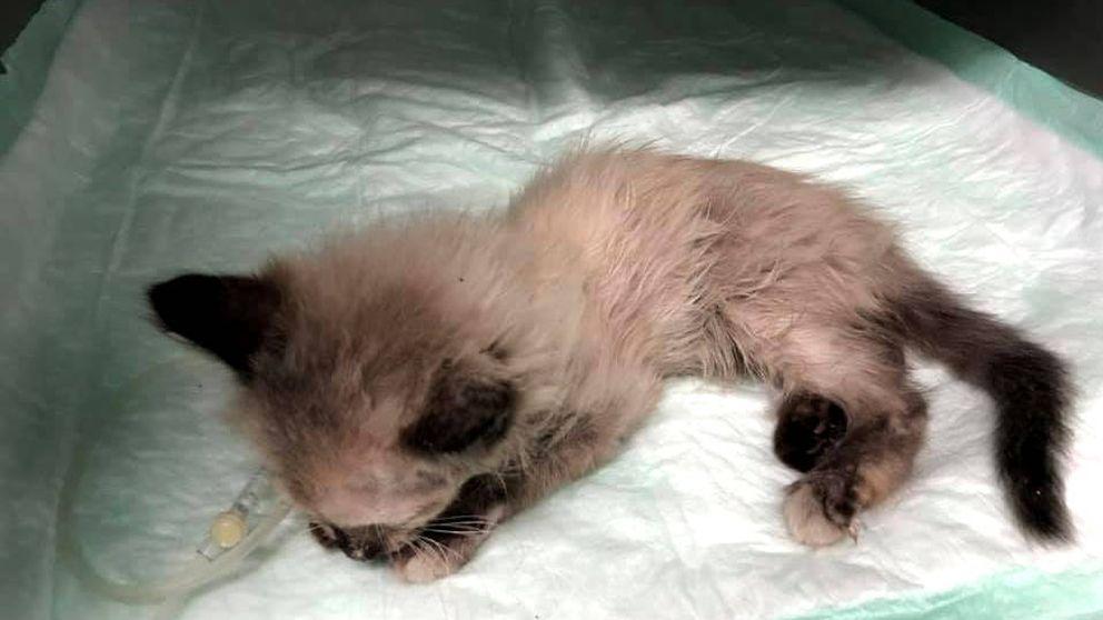 Muere una gata de solo dos meses a la que pusieron un petardo en la boca