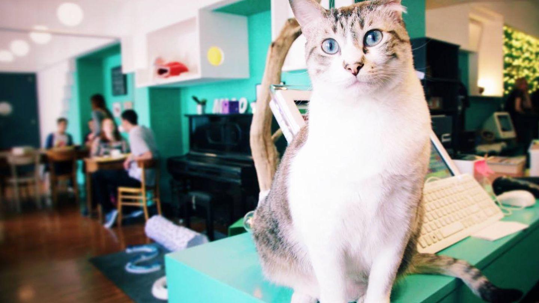 Los gatos son los protagonistas en Crazy Cat Café. (Cortesía)