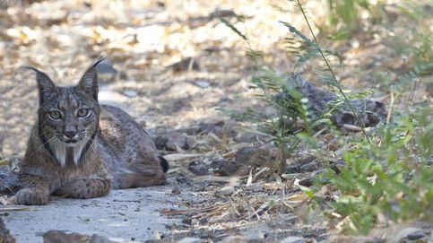 Trasladan al lince ibérico aparecido en Cataluña a su hábitat natural