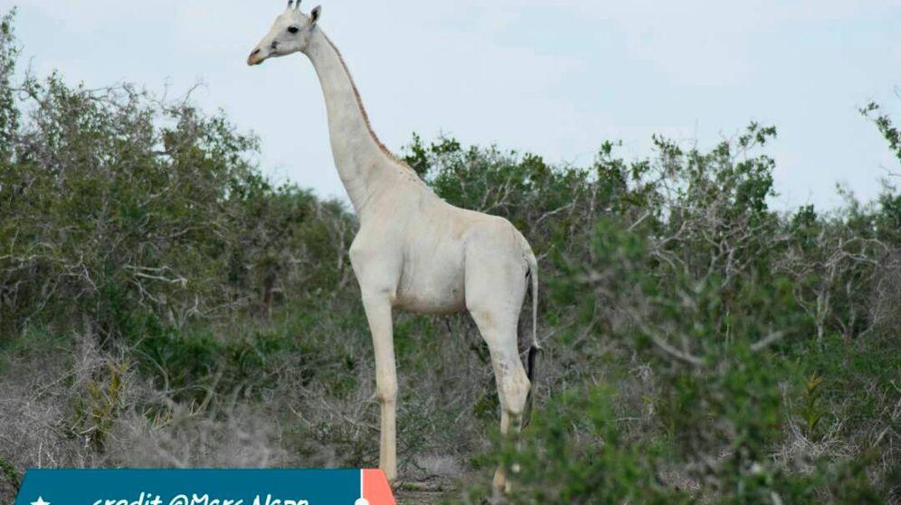 Foto: La jirafa blanca es una rareza en el mundo animal y hay muy pocos ejemplares (Foto: Facebook/Marc Napo)