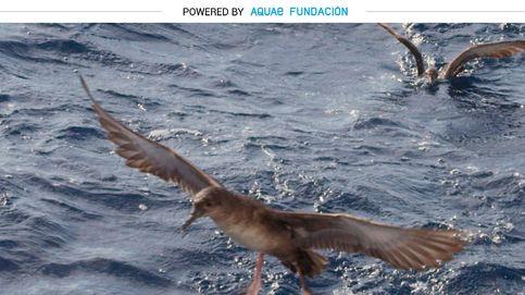 Pardela balear, el ave más amenazada de Europa