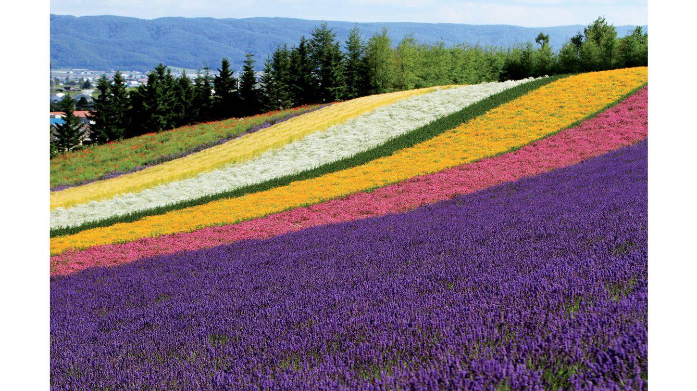 Foto: Campos de flores y lavanda en la granja Tomita, en Hokkaido.