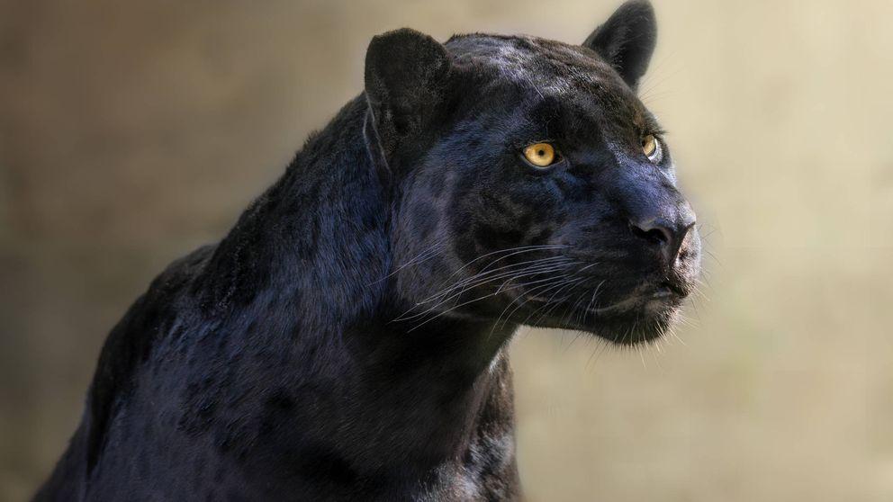 Un pueblo de Granada alerta de la supuesta presencia de una pantera negra