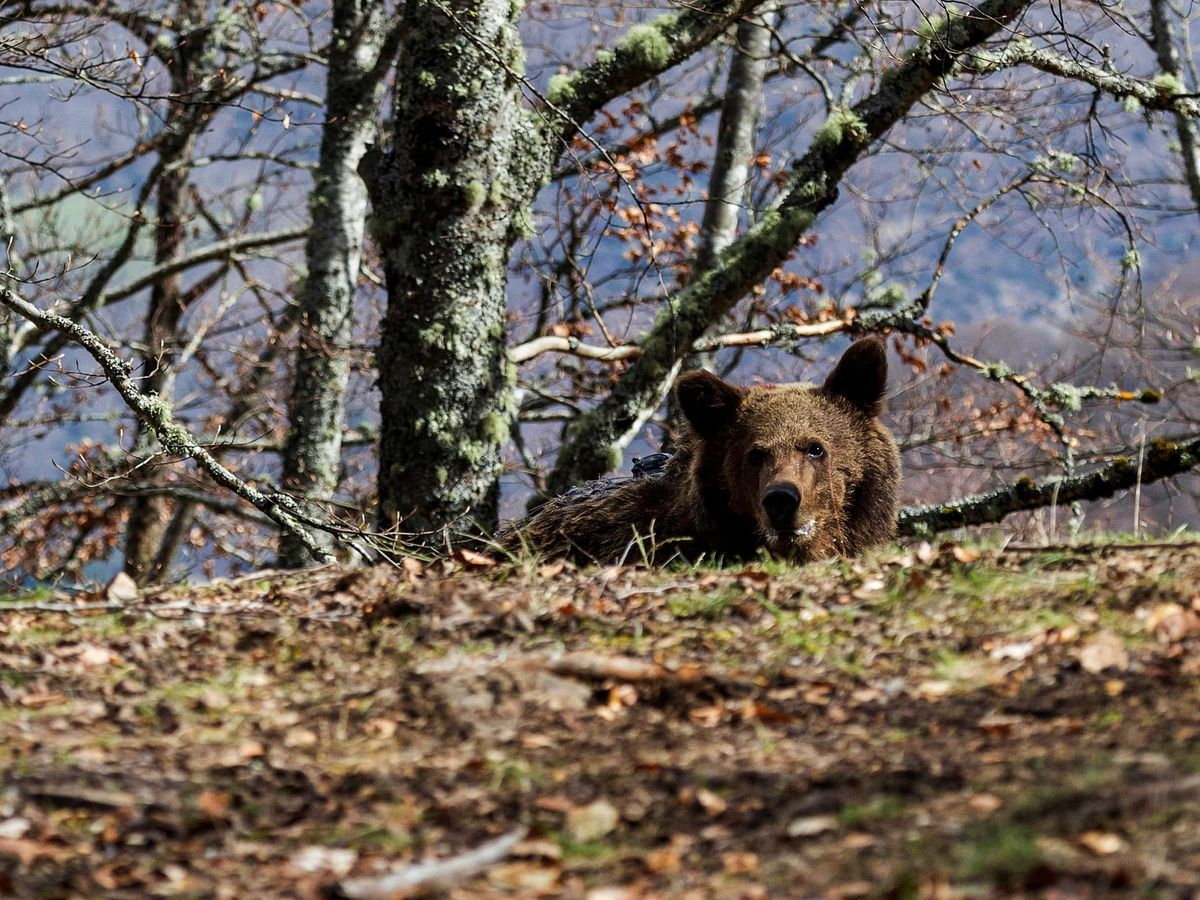 Foto: Un osezno recuperado en la comarca de Liébana (Cantabria).