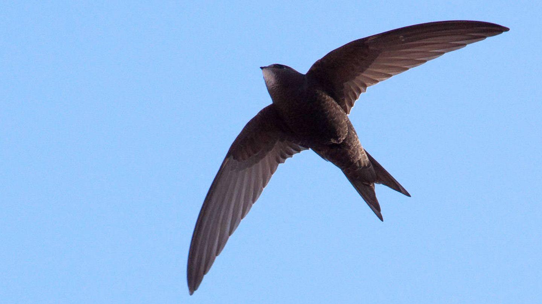 El vencejo es un ave que a menudo se confunde con las golondrinas, pero es más grande y tiene las alas más afiladas y la cola más corta.