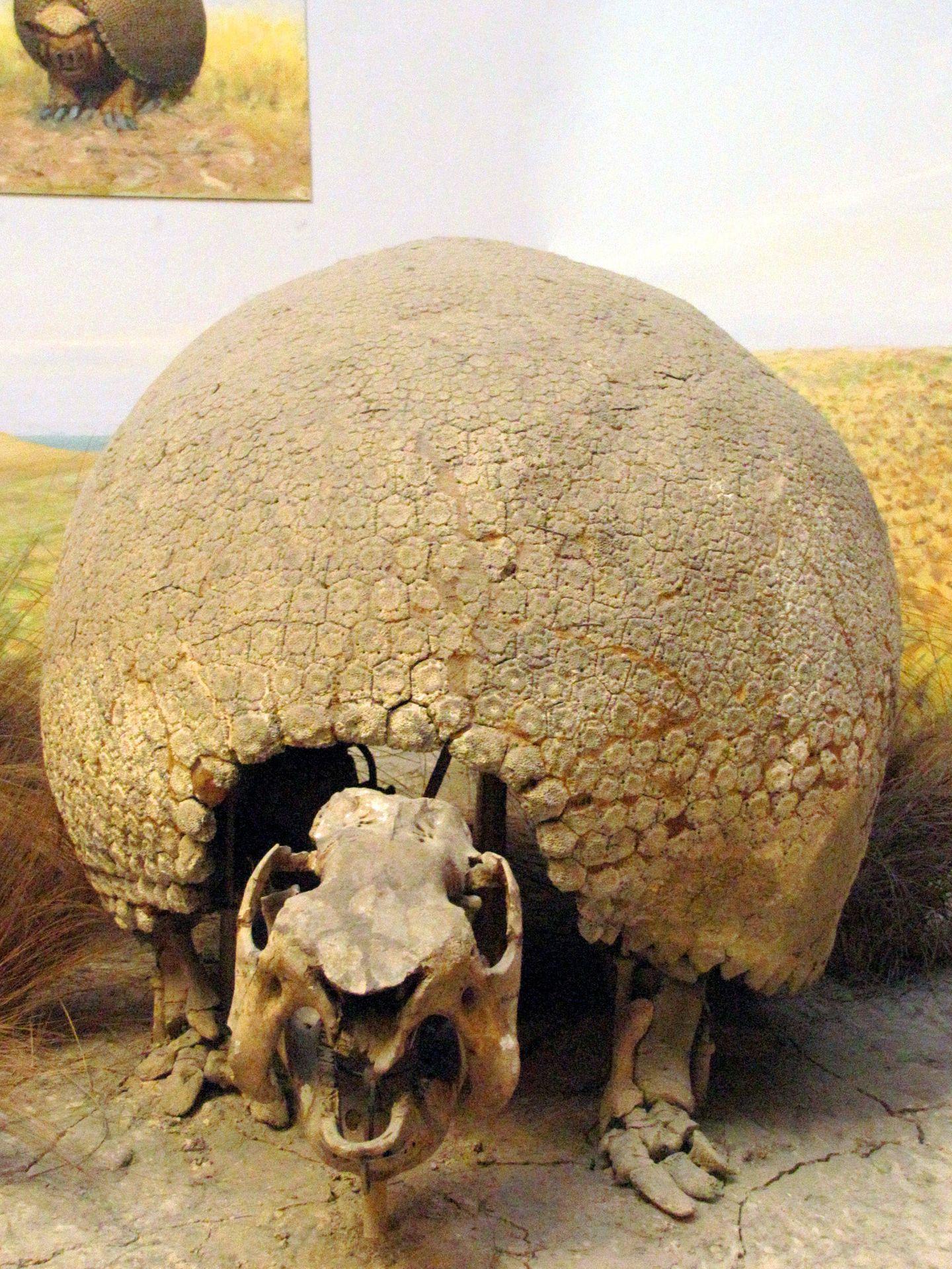 Esqueleto de un 'gliptodonte' exhibido en Buenos Aires. (Wikimedia Commons)
