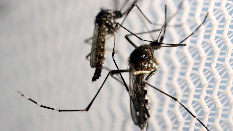 Florida probará mosquitos genéticamente modificados contra el Zika y el dengue