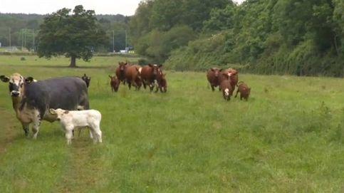 Un veterinario calma a sus vacas... ¡con ópera!