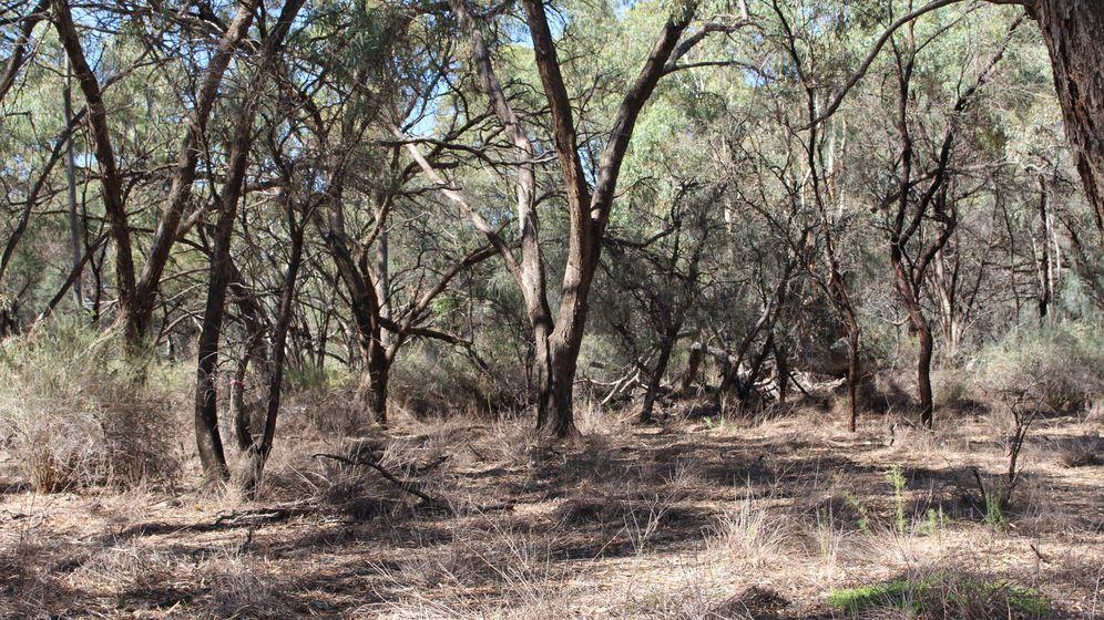 Foto: Un bosque de eucaliptos en Australia