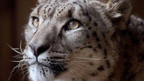 Matan a un leopardo de las nieves que se escapó de la jaula del zoo en el que vivía