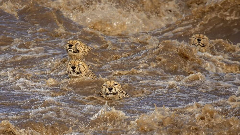 Cuatro guepardos tratan de sobrevivir a una inundación. (Buddhilini de Soyza/Wildlife Photographer of the Year)