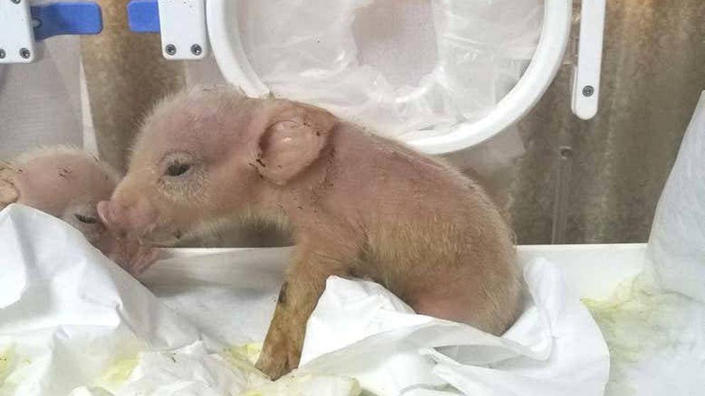 China vuelve a jugar a 'ser Dios': crea cerdos con células de mono