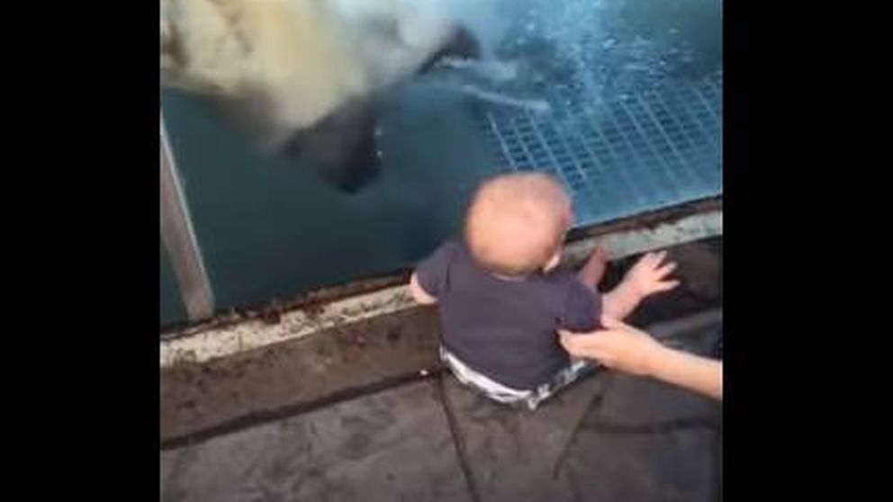 El 'fallido' ataque de un oso polar a un bebé en el zoo de St. Louis