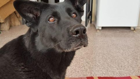 Se busca familia para Laki, una perra jubilada del Ejército muy cariñosa