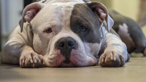 Investigan a una pareja por mutilar estéticamente las orejas a un perro