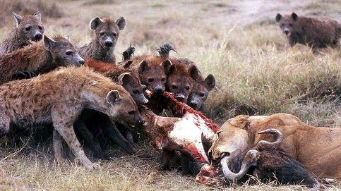 Leones, hienas y rinocerontes habitaron los montes de Lugo hace 110.000 años