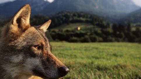 Proteger al lobo sí, pero no así