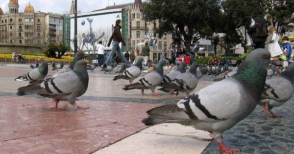 Condenan a una mujer de Tenerife por dar de comer a las palomas y a las ratas